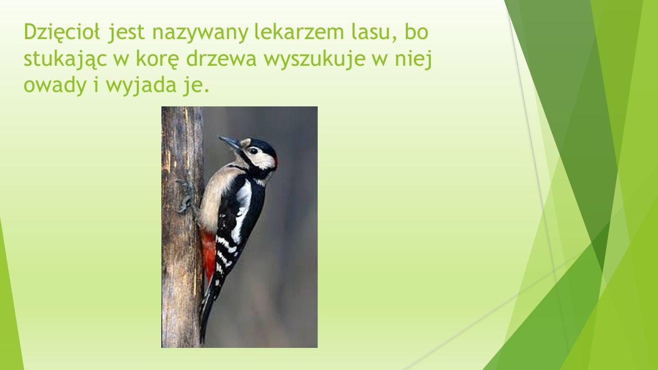 Dzięcioł jest nazywany lekarzem lasu, bo stukając w korę drzewa wyszukuje w niej owady i wyjada je.