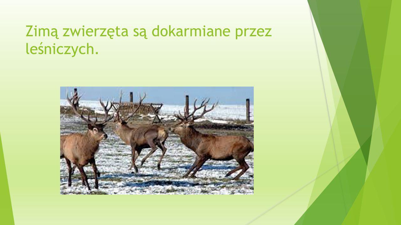 Zimą zwierzęta są dokarmiane przez leśniczych.