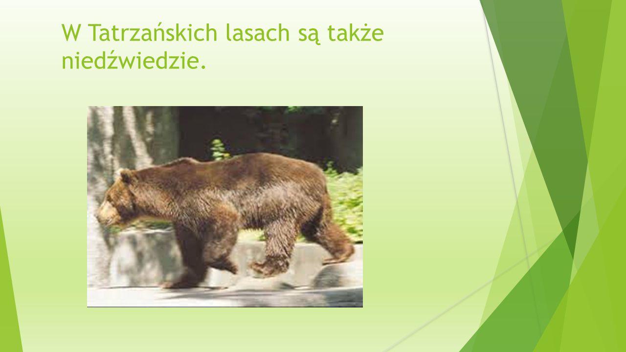 W Tatrzańskich lasach są także niedźwiedzie.
