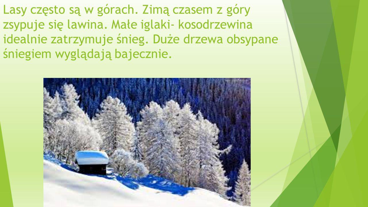 Lasy często są w górach. Zimą czasem z góry zsypuje się lawina