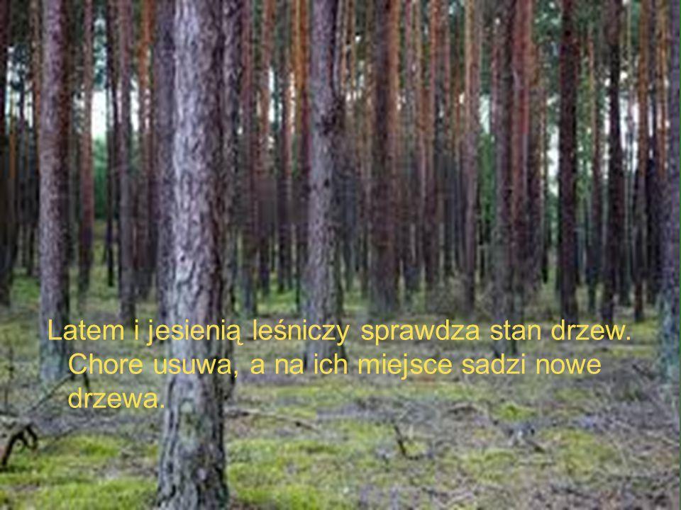 Latem i jesienią leśniczy sprawdza stan drzew