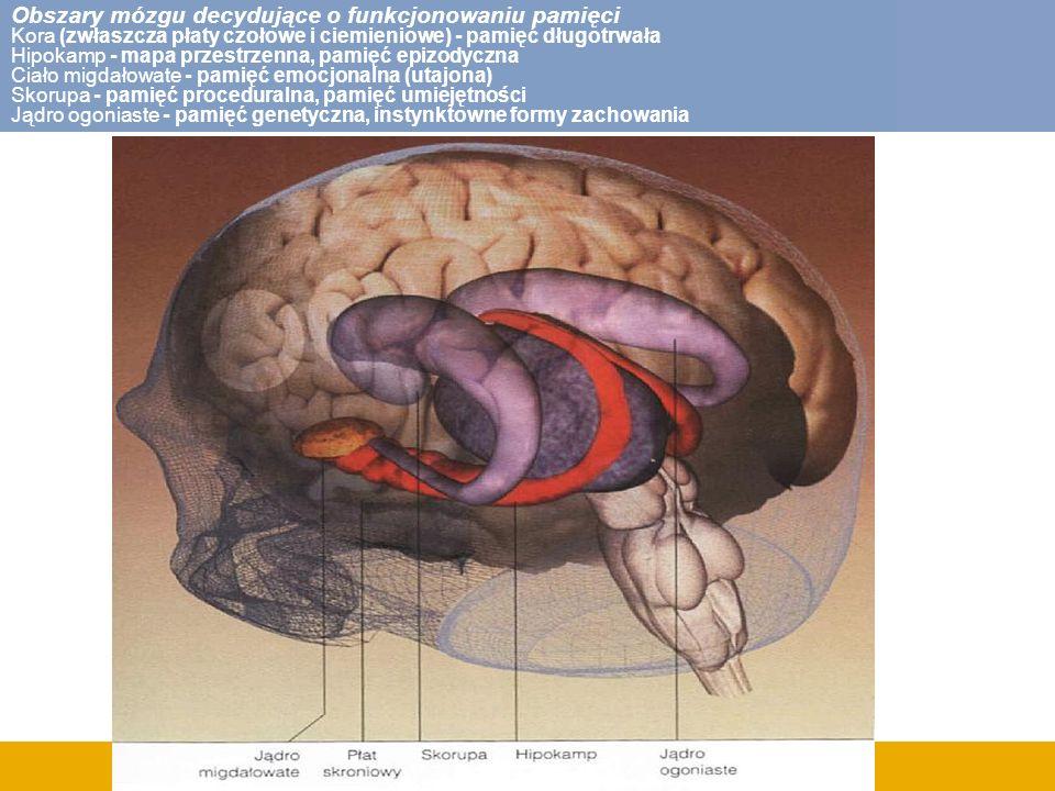 Obszary mózgu decydujące o funkcjonowaniu pamięci Kora (zwłaszcza płaty czołowe i ciemieniowe) - pamięć długotrwała Hipokamp - mapa przestrzenna, pamięć epizodyczna Ciało migdałowate - pamięć emocjonalna (utajona) Skorupa - pamięć proceduralna, pamięć umiejętności Jądro ogoniaste - pamięć genetyczna, instynktowne formy zachowania