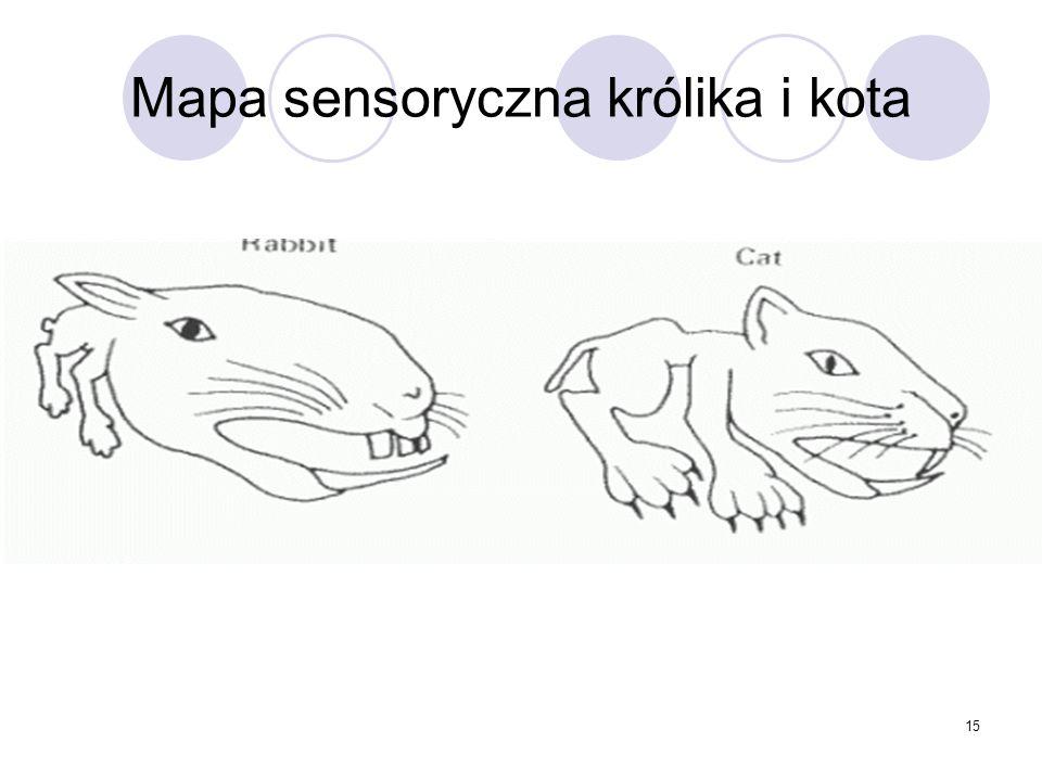 Mapa sensoryczna królika i kota