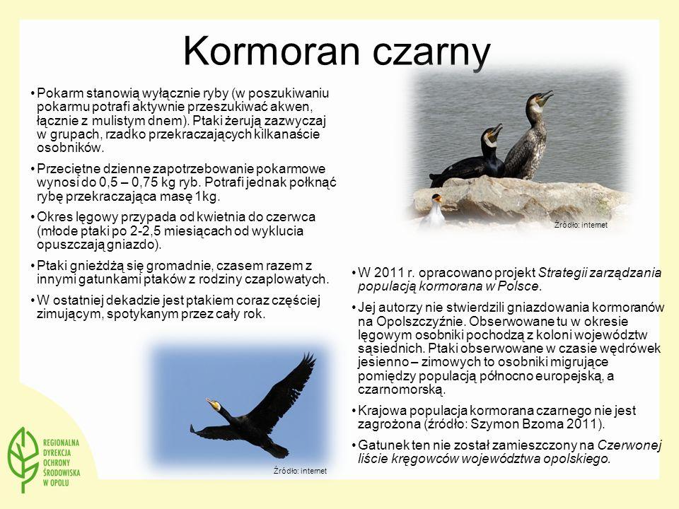 Kormoran czarny W 2011 r. opracowano projekt Strategii zarządzania populacją kormorana w Polsce.