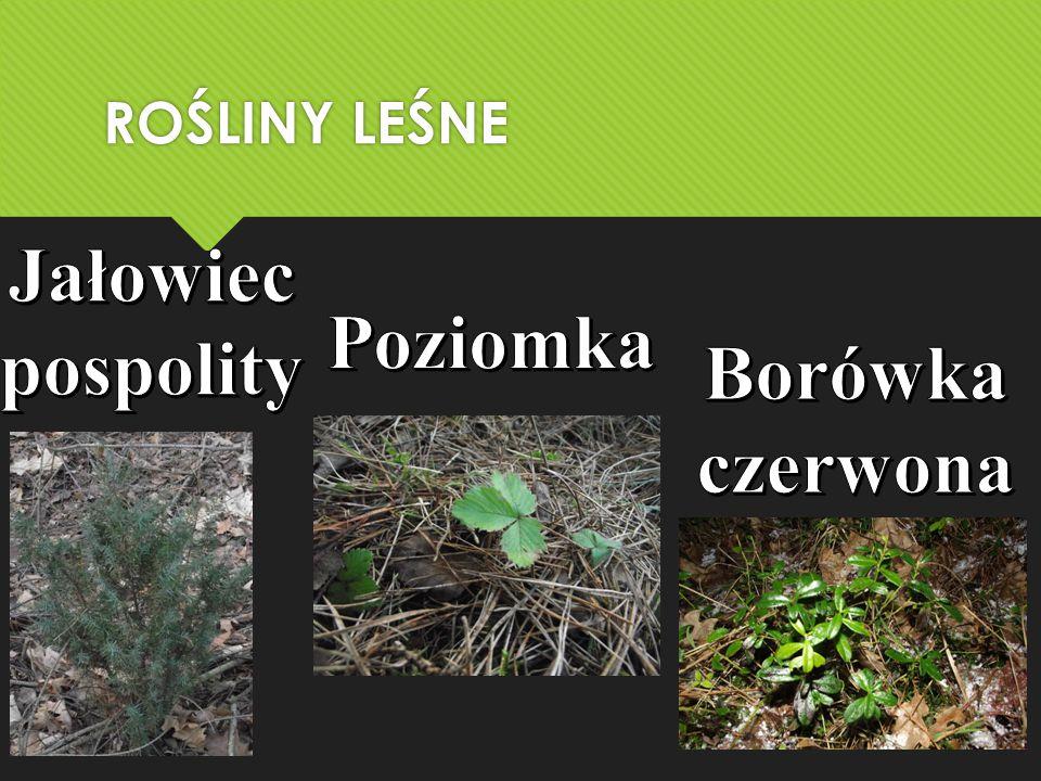 Jałowiec pospolity Poziomka Borówka czerwona