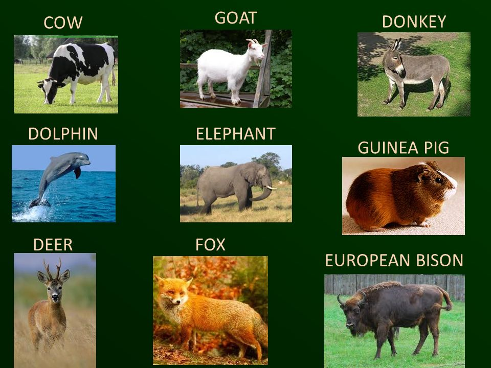 GOAT COW DONKEY DOLPHIN ELEPHANT GUINEA PIG DEER FOX EUROPEAN BISON