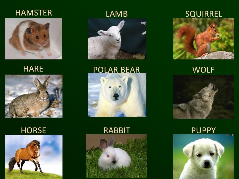 HAMSTER LAMB SQUIRREL HARE POLAR BEAR WOLF HORSE RABBIT PUPPY
