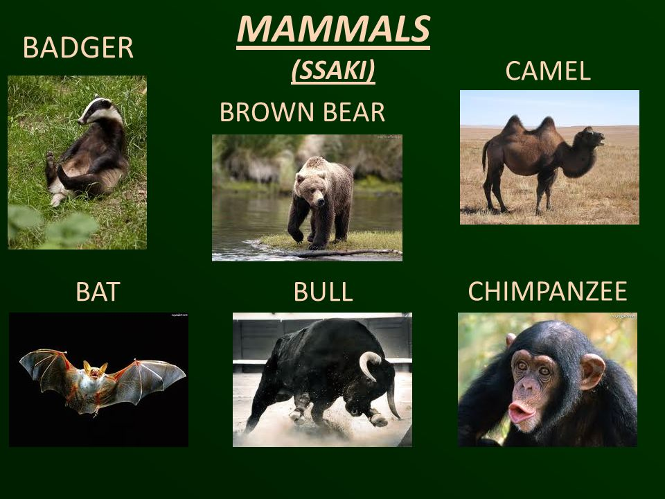 MAMMALS (SSAKI) BADGER CAMEL BROWN BEAR BAT BULL CHIMPANZEE