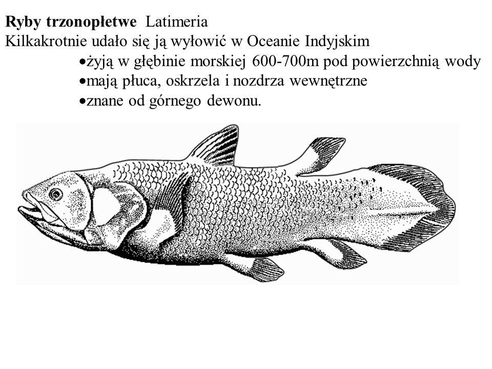 Ryby trzonopłetwe Latimeria