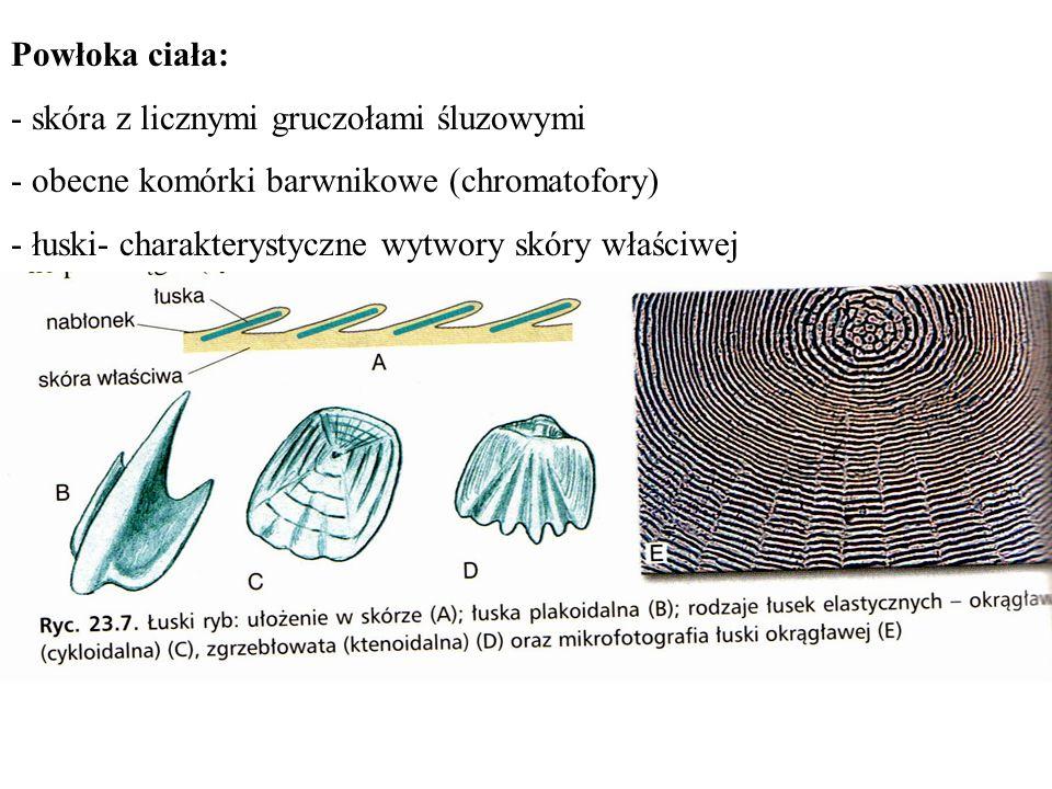 Powłoka ciała: - skóra z licznymi gruczołami śluzowymi. - obecne komórki barwnikowe (chromatofory)