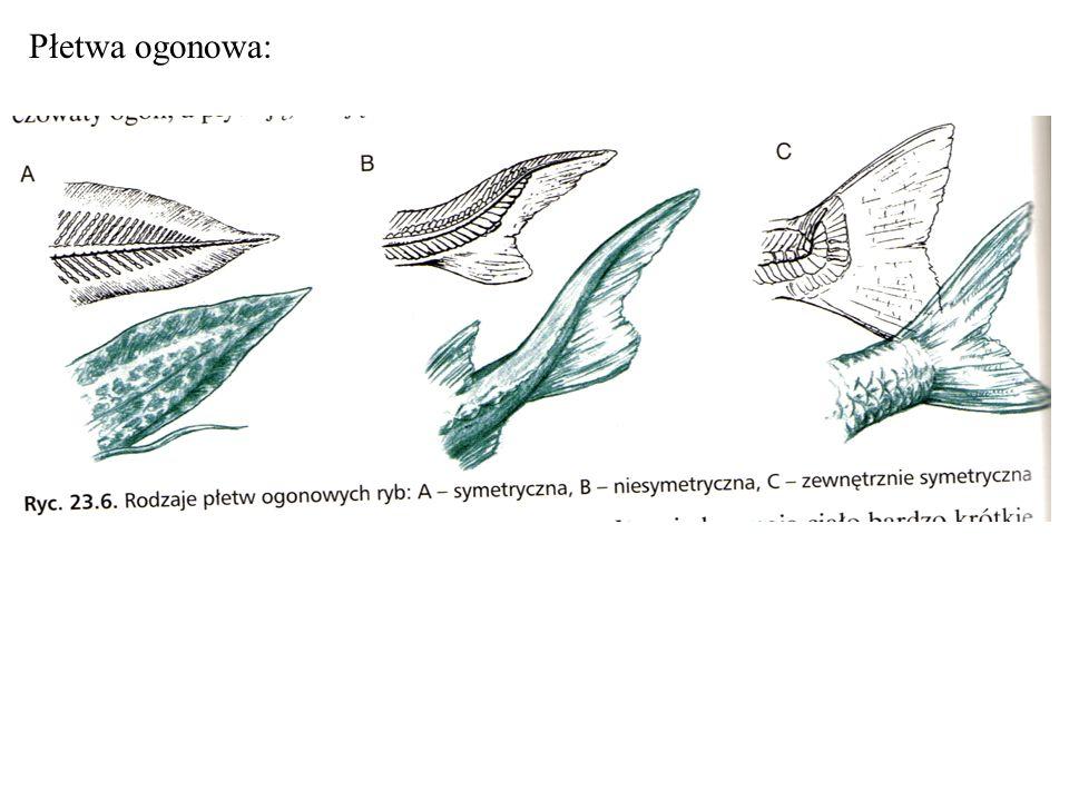 Płetwa ogonowa: