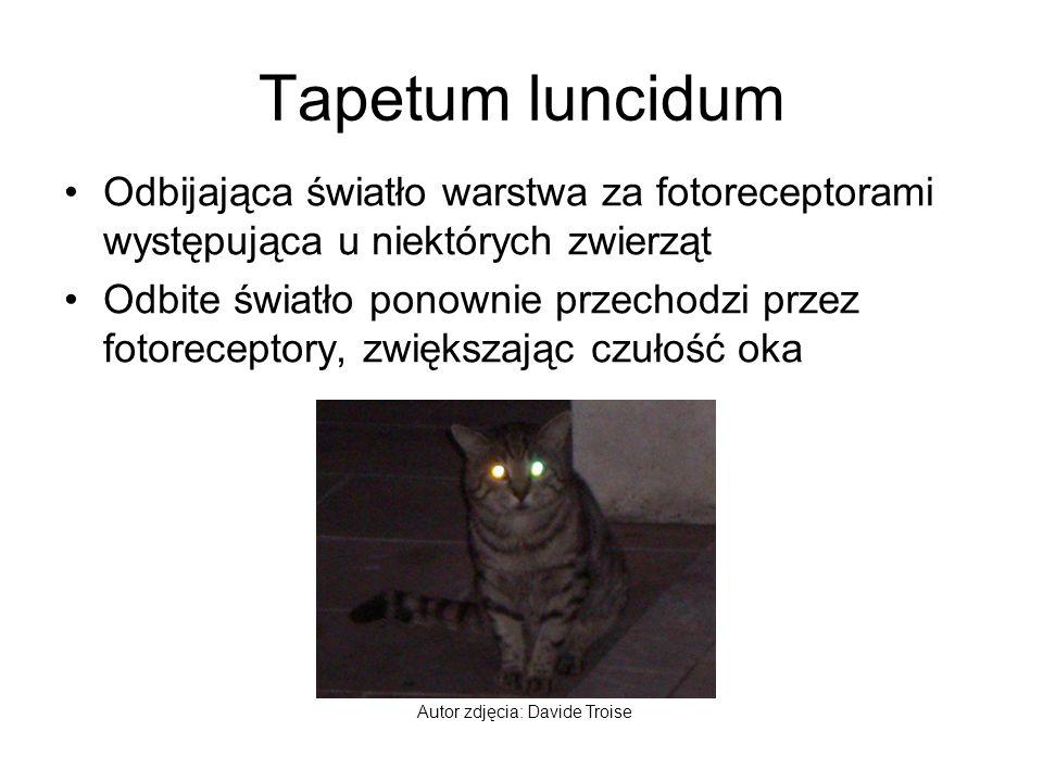 Tapetum luncidum Odbijająca światło warstwa za fotoreceptorami występująca u niektórych zwierząt.