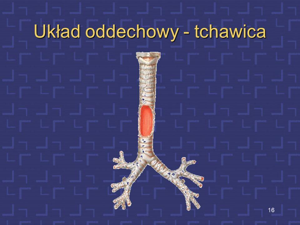 Układ oddechowy - tchawica