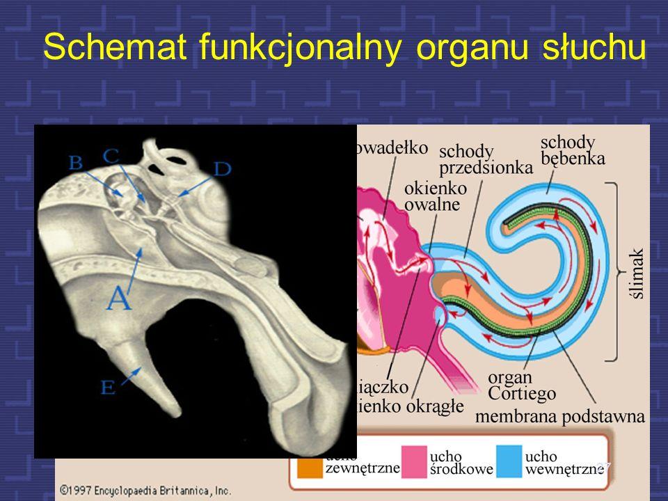 Schemat funkcjonalny organu słuchu
