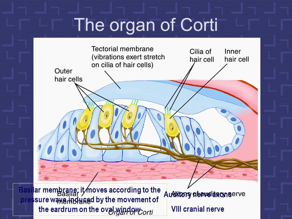 The organ of Corti Compte aquesta ampliació: està al revés que la de la pantalla anterior!! Al clicar sobre la membrana tectòria surt el text.