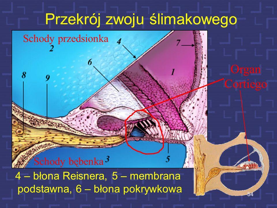 Przekrój zwoju ślimakowego