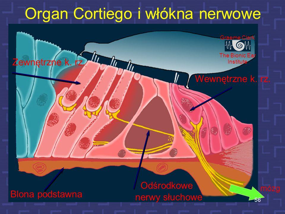 Organ Cortiego i włókna nerwowe
