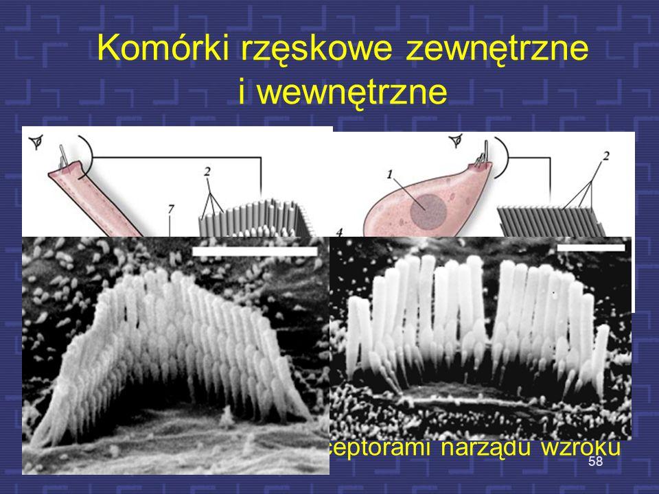 Komórki rzęskowe zewnętrzne i wewnętrzne