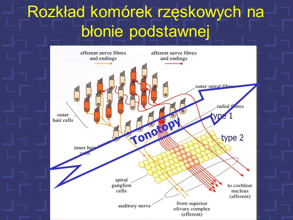Rozkład komórek rzęskowych na błonie podstawnej