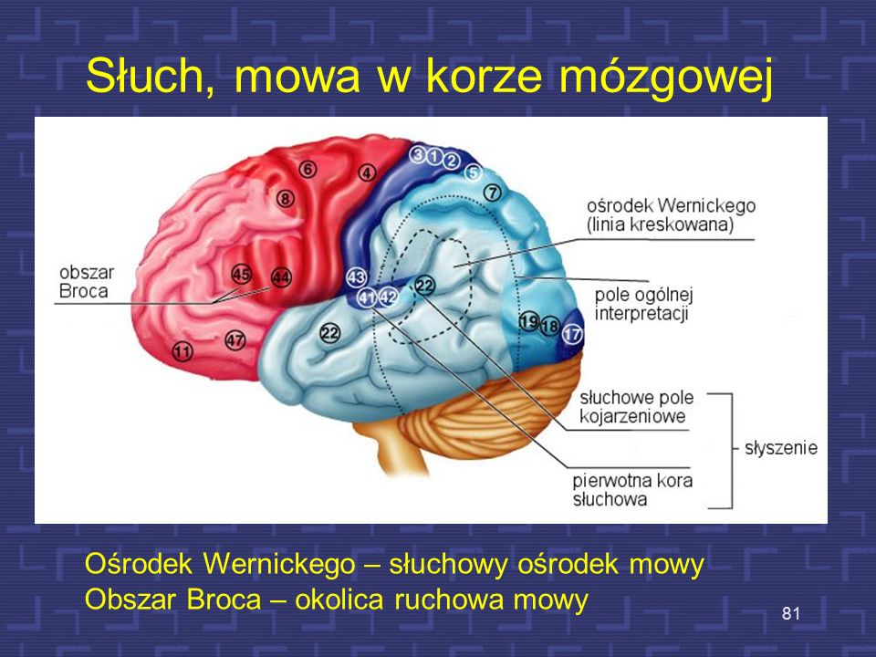 Słuch, mowa w korze mózgowej