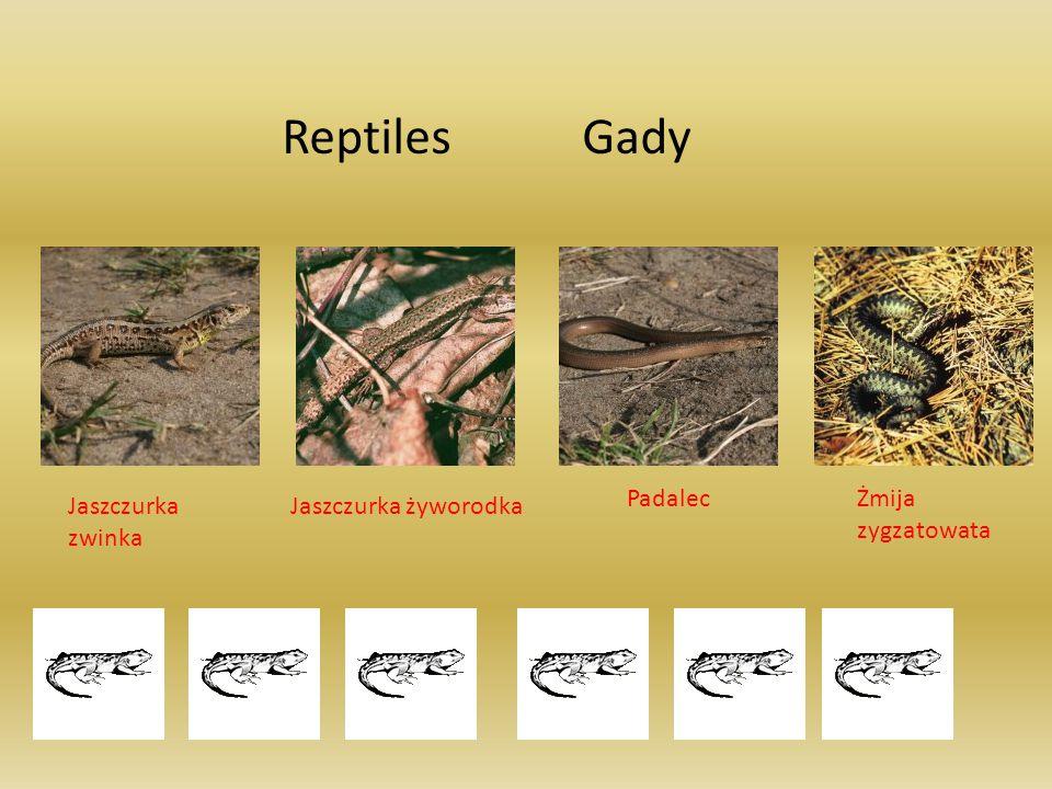 Reptiles Gady Padalec Żmija zygzatowata Jaszczurka zwinka