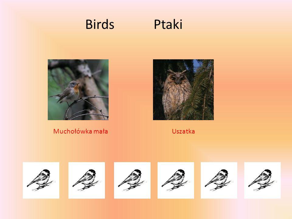 Birds Ptaki Muchołówka mała Uszatka