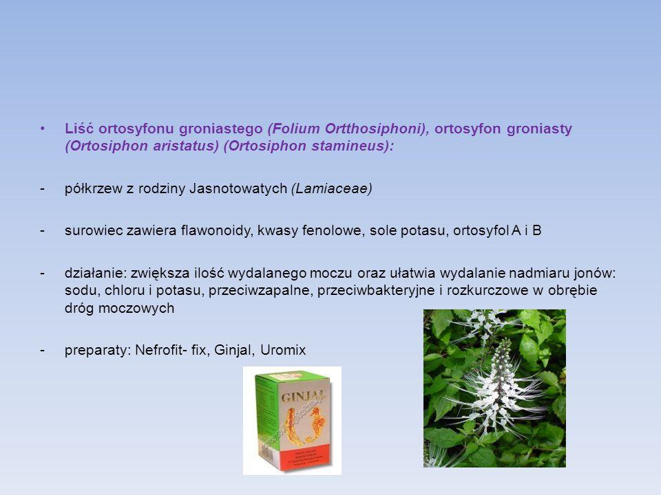 Liść ortosyfonu groniastego (Folium Ortthosiphoni), ortosyfon groniasty (Ortosiphon aristatus) (Ortosiphon stamineus):