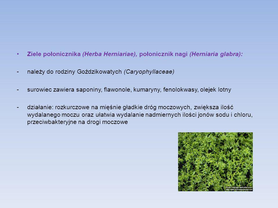 Ziele połonicznika (Herba Herniariae), połonicznik nagi (Herniaria glabra):