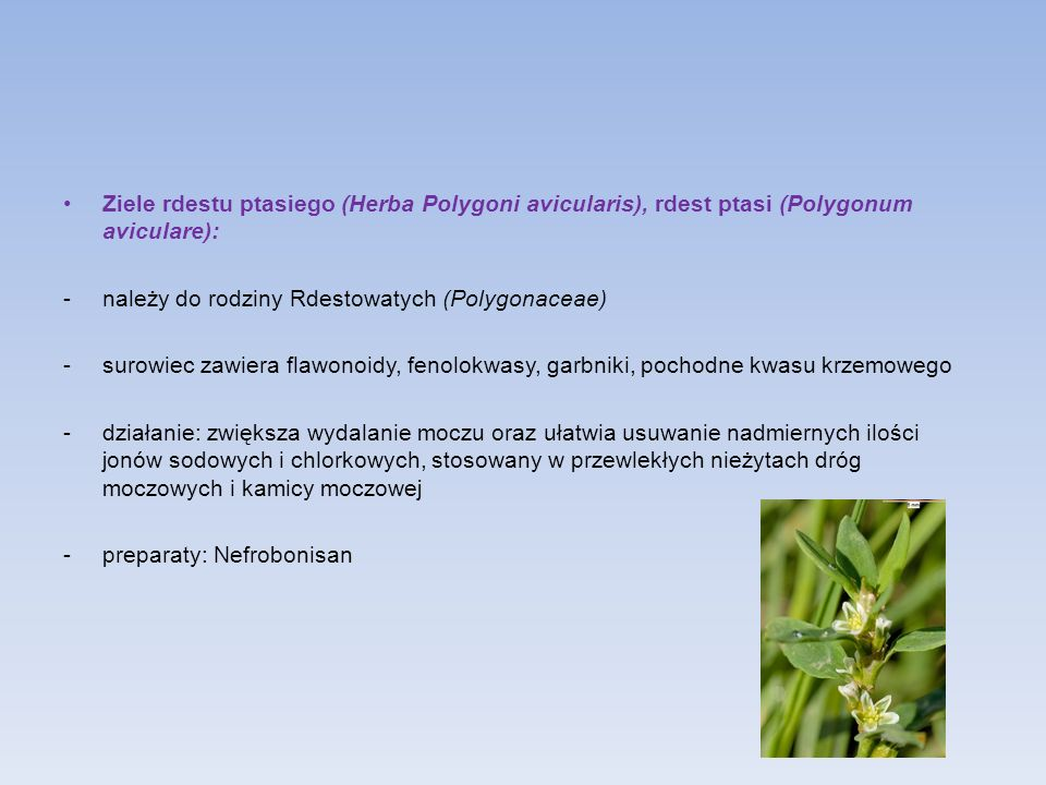 Ziele rdestu ptasiego (Herba Polygoni avicularis), rdest ptasi (Polygonum aviculare):