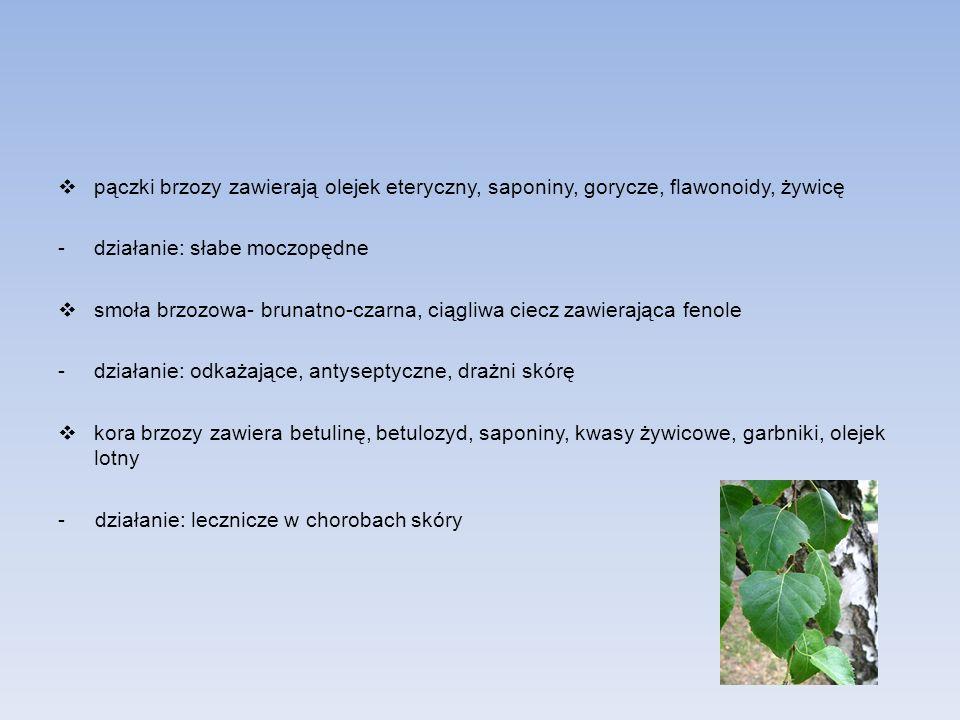 pączki brzozy zawierają olejek eteryczny, saponiny, gorycze, flawonoidy, żywicę