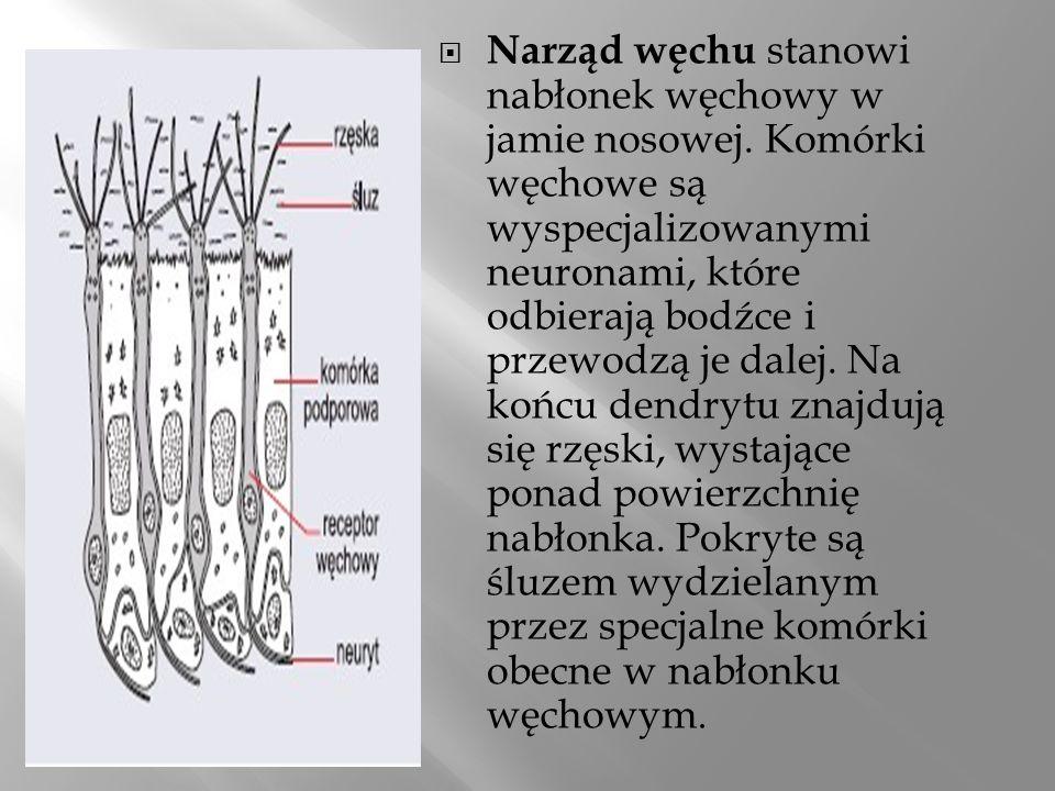 Narząd węchu stanowi nabłonek węchowy w jamie nosowej