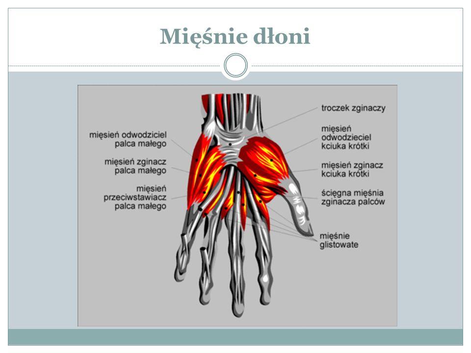 Mięśnie dłoni