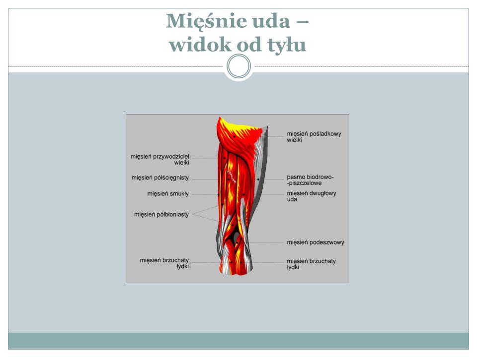 Mięśnie uda – widok od tyłu
