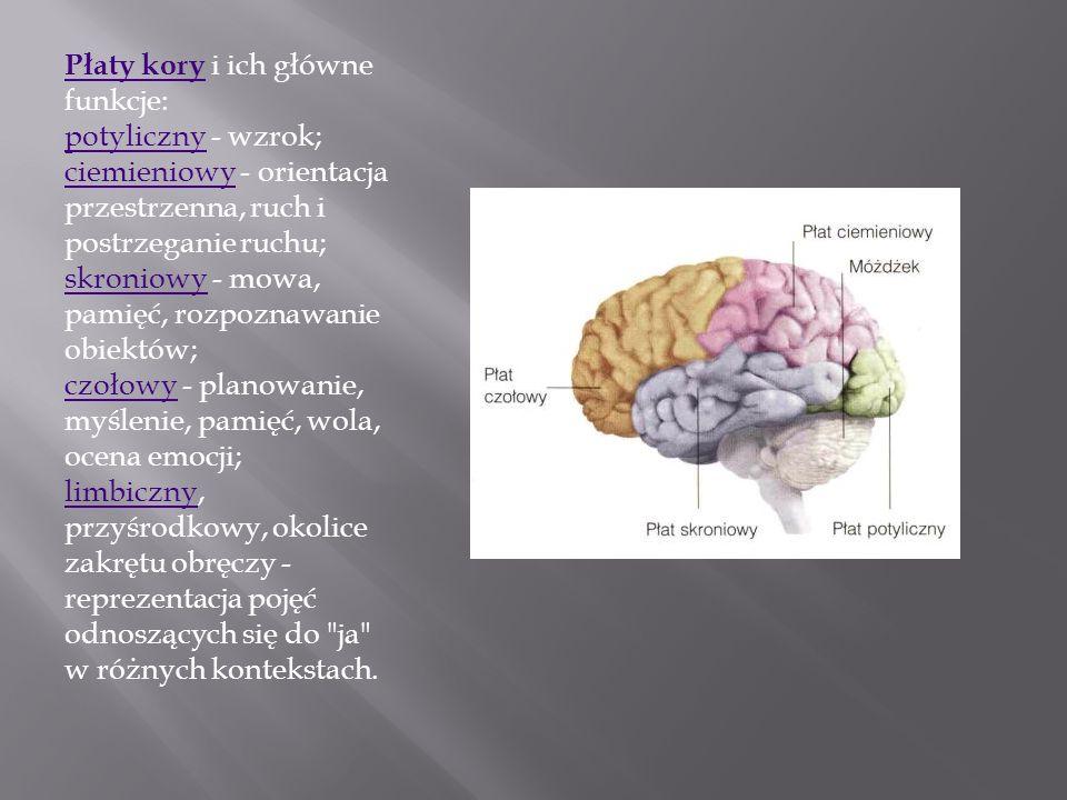 Płaty kory i ich główne funkcje: potyliczny - wzrok; ciemieniowy - orientacja przestrzenna, ruch i postrzeganie ruchu; skroniowy - mowa, pamięć, rozpoznawanie obiektów; czołowy - planowanie, myślenie, pamięć, wola, ocena emocji; limbiczny, przyśrodkowy, okolice zakrętu obręczy - reprezentacja pojęć odnoszących się do ja w różnych kontekstach.