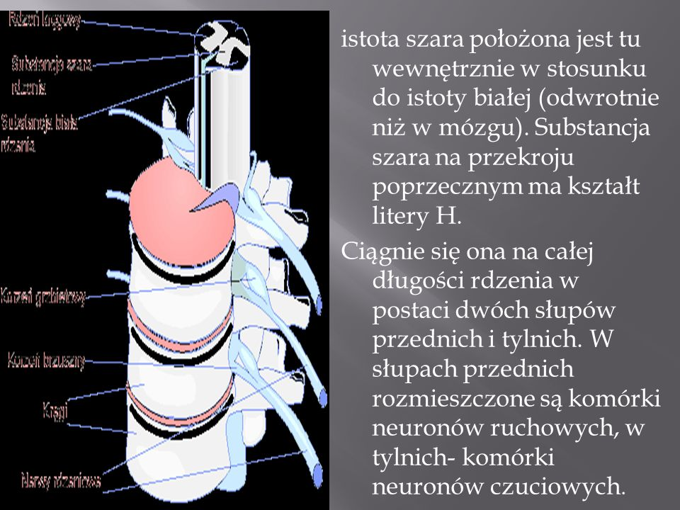 istota szara położona jest tu wewnętrznie w stosunku do istoty białej (odwrotnie niż w mózgu).