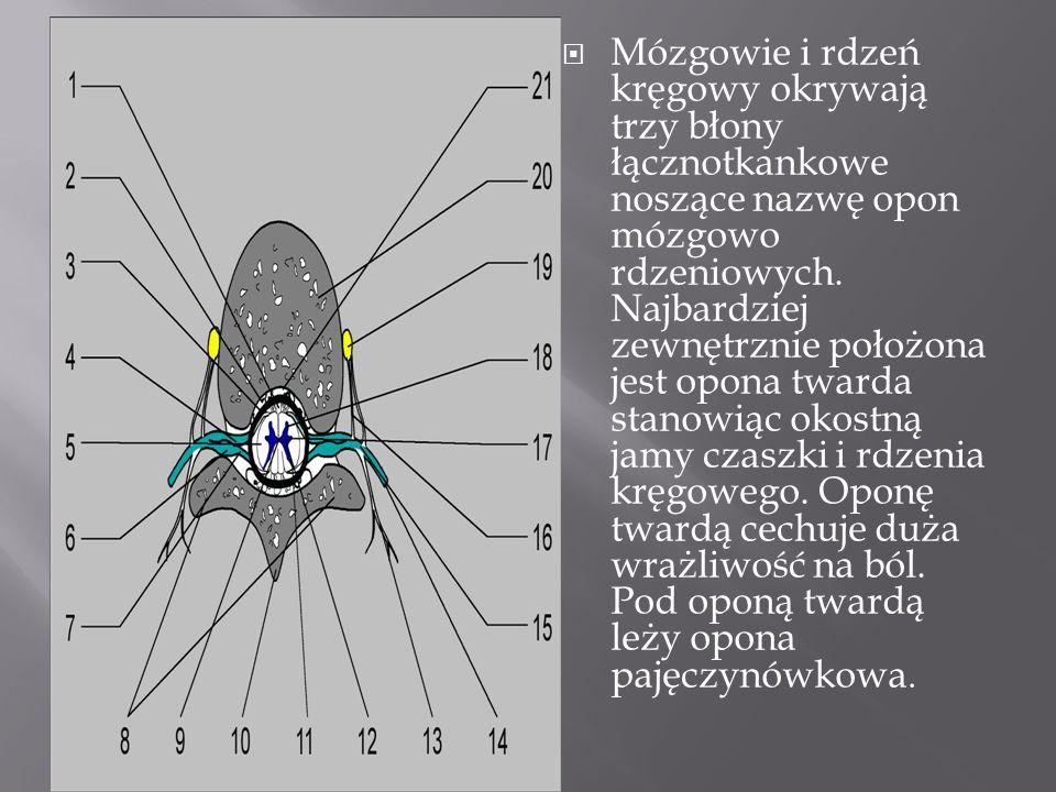Opony mózgowo-rdzeniowe