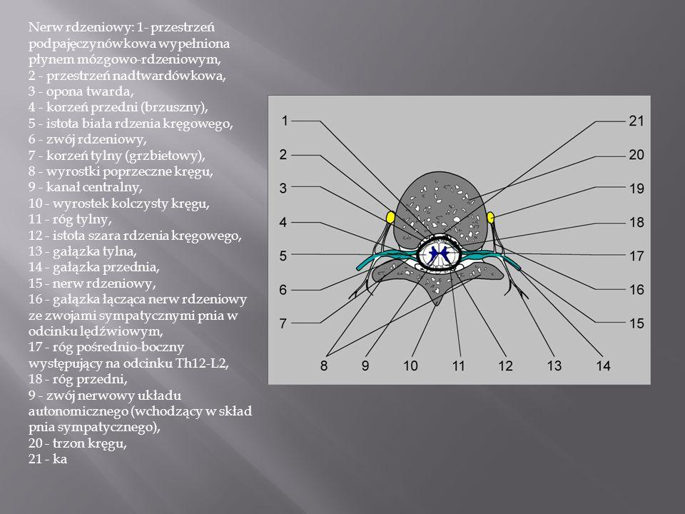 Nerw rdzeniowy: 1- przestrzeń podpajęczynówkowa wypełniona płynem mózgowo-rdzeniowym, 2 - przestrzeń nadtwardówkowa, 3 - opona twarda, 4 - korzeń przedni (brzuszny), 5 - istota biała rdzenia kręgowego, 6 - zwój rdzeniowy, 7 - korzeń tylny (grzbietowy), 8 - wyrostki poprzeczne kręgu, 9 - kanał centralny, 10 - wyrostek kolczysty kręgu, 11 - róg tylny, 12 - istota szara rdzenia kręgowego, 13 - gałązka tylna, 14 - gałązka przednia, 15 - nerw rdzeniowy, 16 - gałązka łącząca nerw rdzeniowy ze zwojami sympatycznymi pnia w odcinku lędźwiowym, 17 - róg pośrednio-boczny występujący na odcinku Th12-L2, 18 - róg przedni, 9 - zwój nerwowy układu autonomicznego (wchodzący w skład pnia sympatycznego), 20 - trzon kręgu, 21 - ka