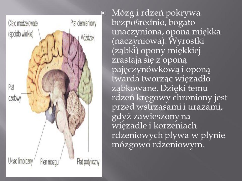 Mózg i rdzeń pokrywa bezpośrednio, bogato unaczyniona, opona miękka (naczyniowa).