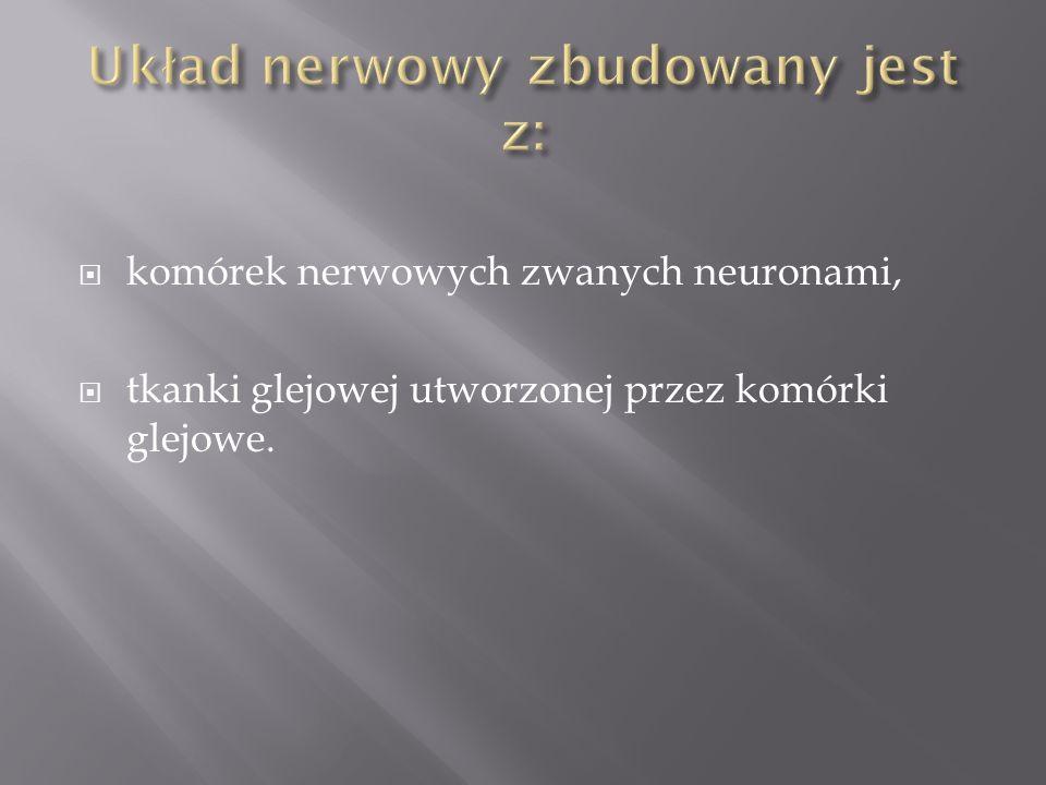 Układ nerwowy zbudowany jest z:
