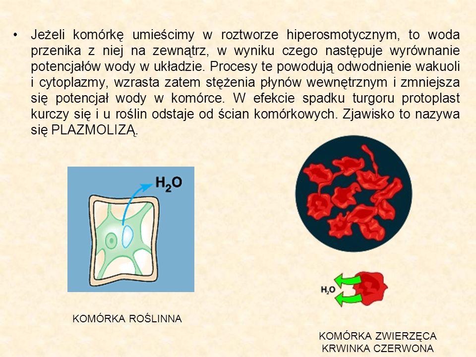 Jeżeli komórkę umieścimy w roztworze hiperosmotycznym, to woda przenika z niej na zewnątrz, w wyniku czego następuje wyrównanie potencjałów wody w układzie. Procesy te powodują odwodnienie wakuoli i cytoplazmy, wzrasta zatem stężenia płynów wewnętrznym i zmniejsza się potencjał wody w komórce. W efekcie spadku turgoru protoplast kurczy się i u roślin odstaje od ścian komórkowych. Zjawisko to nazywa się PLAZMOLIZĄ.