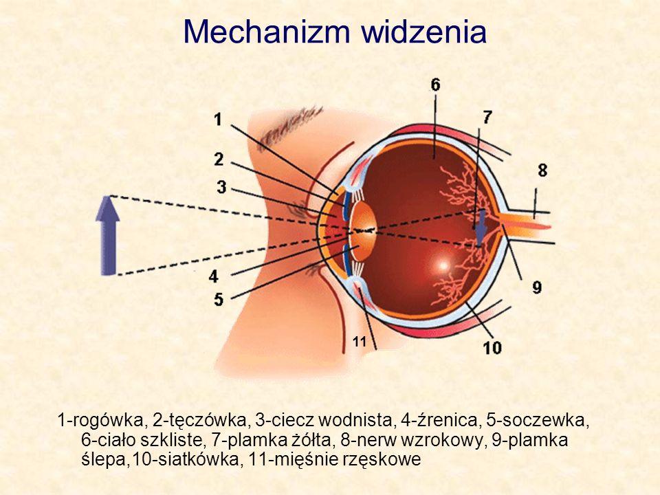 Mechanizm widzenia 11.