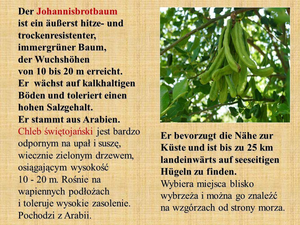 Der Johannisbrotbaum ist ein äußerst hitze- und trockenresistenter, immergrüner Baum, der Wuchshöhen von 10 bis 20 m erreicht. Er wächst auf kalkhaltigen Böden und toleriert einen hohen Salzgehalt. Er stammt aus Arabien. Chleb świętojański jest bardzo odpornym na upał i suszę, wiecznie zielonym drzewem, osiągającym wysokość 10 - 20 m. Rośnie na wapiennych podłożach i toleruje wysokie zasolenie. Pochodzi z Arabii.