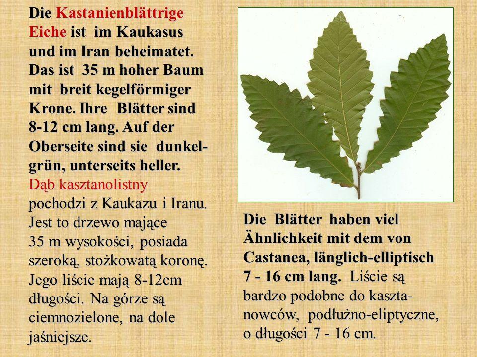 Die Kastanienblättrige Eiche ist im Kaukasus und im Iran beheimatet
