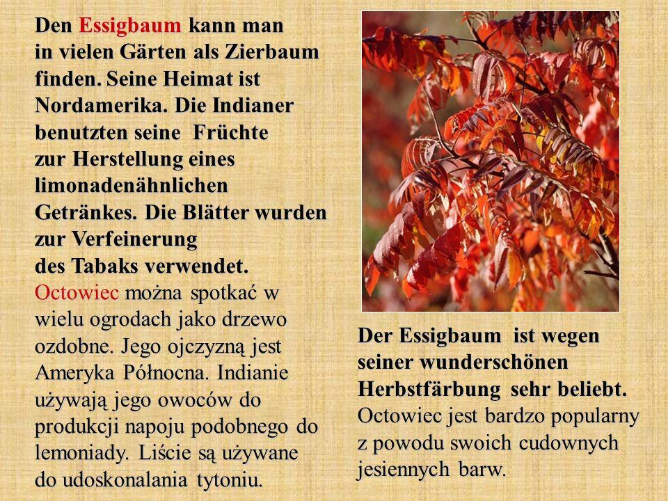 Den Essigbaum kann man in vielen Gärten als Zierbaum finden
