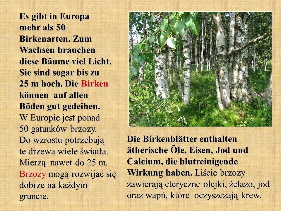 Es gibt in Europa mehr als 50 Birkenarten