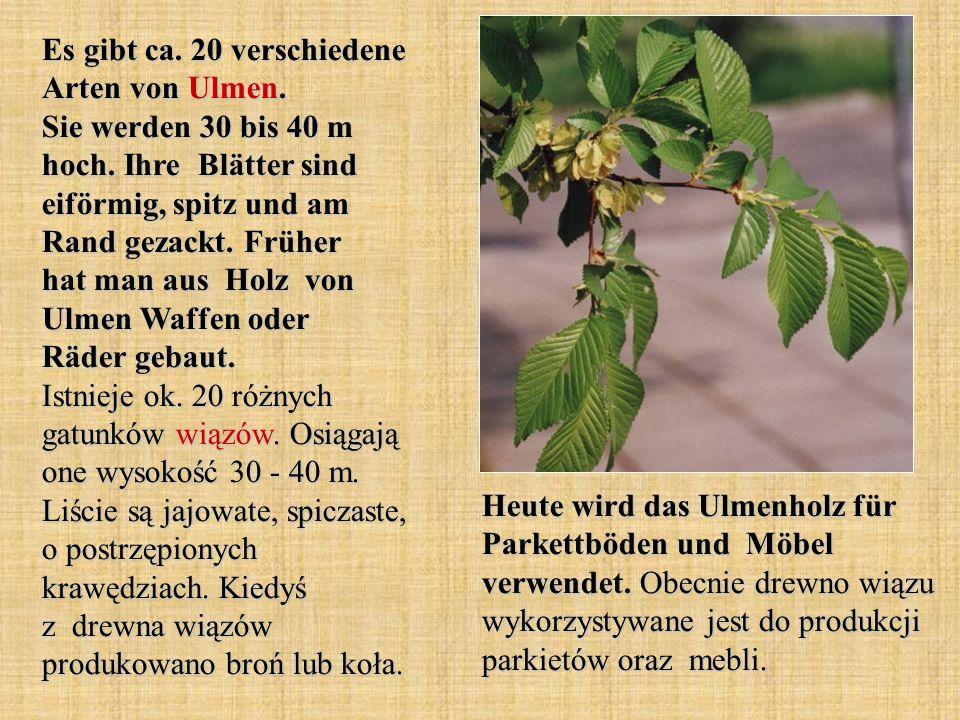 Es gibt ca. 20 verschiedene Arten von Ulmen