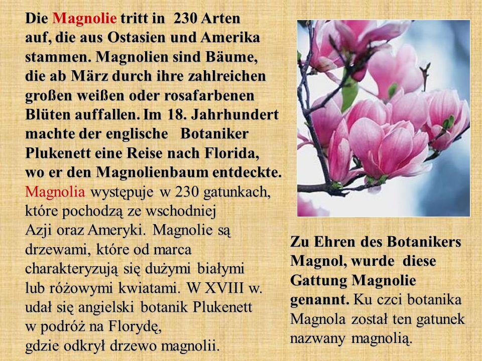 Die Magnolie tritt in 230 Arten auf, die aus Ostasien und Amerika stammen. Magnolien sind Bäume, die ab März durch ihre zahlreichen großen weißen oder rosafarbenen Blüten auffallen. Im 18. Jahrhundert machte der englische Botaniker Plukenett eine Reise nach Florida, wo er den Magnolienbaum entdeckte. Magnolia występuje w 230 gatunkach, które pochodzą ze wschodniej Azji oraz Ameryki. Magnolie są drzewami, które od marca charakteryzują się dużymi białymi lub różowymi kwiatami. W XVIII w. udał się angielski botanik Plukenett w podróż na Florydę, gdzie odkrył drzewo magnolii.