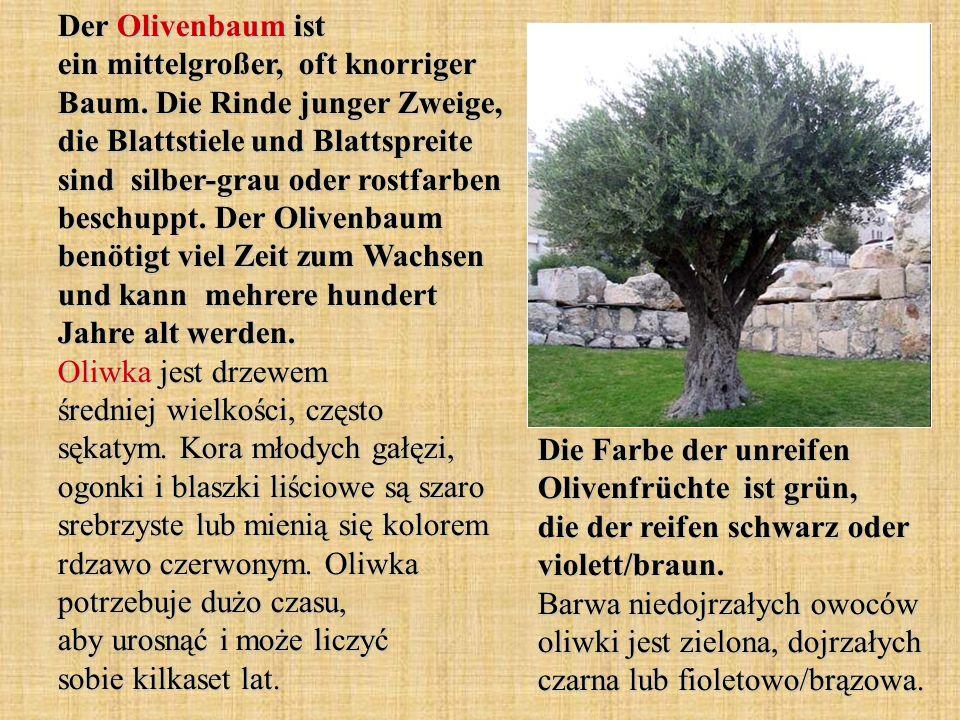 Der Olivenbaum ist ein mittelgroßer, oft knorriger Baum