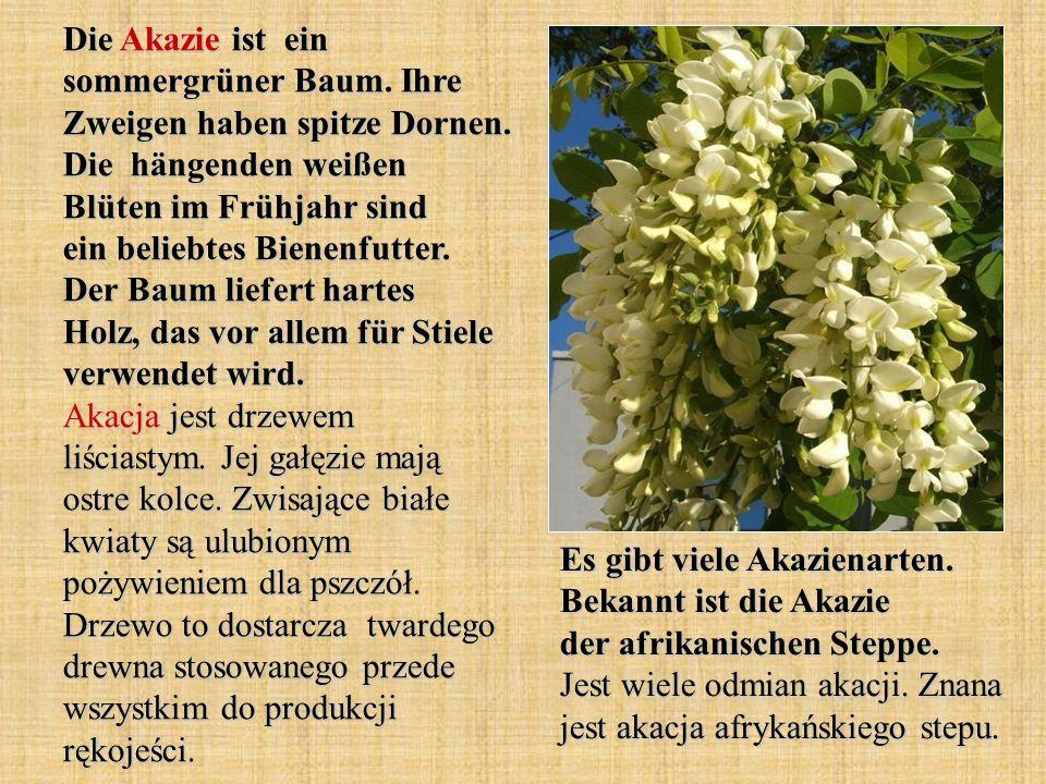 Die Akazie ist ein sommergrüner Baum. Ihre Zweigen haben spitze Dornen