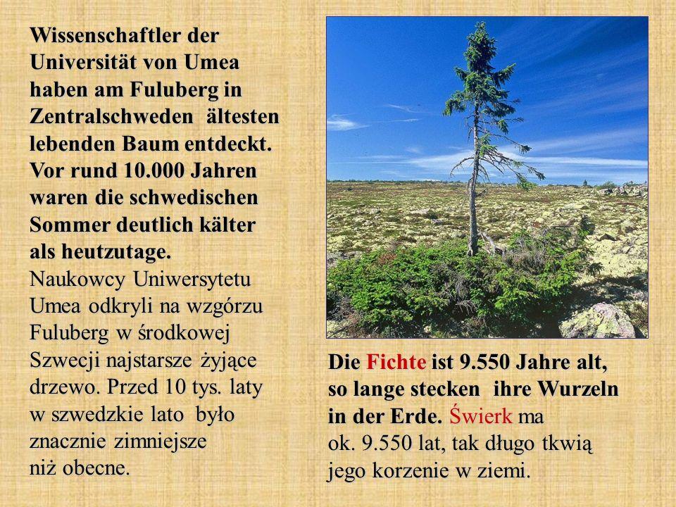 Wissenschaftler der Universität von Umea haben am Fuluberg in Zentralschweden ältesten lebenden Baum entdeckt. Vor rund 10.000 Jahren waren die schwedischen Sommer deutlich kälter als heutzutage. Naukowcy Uniwersytetu Umea odkryli na wzgórzu Fuluberg w środkowej Szwecji najstarsze żyjące drzewo. Przed 10 tys. laty w szwedzkie lato było znacznie zimniejsze niż obecne.